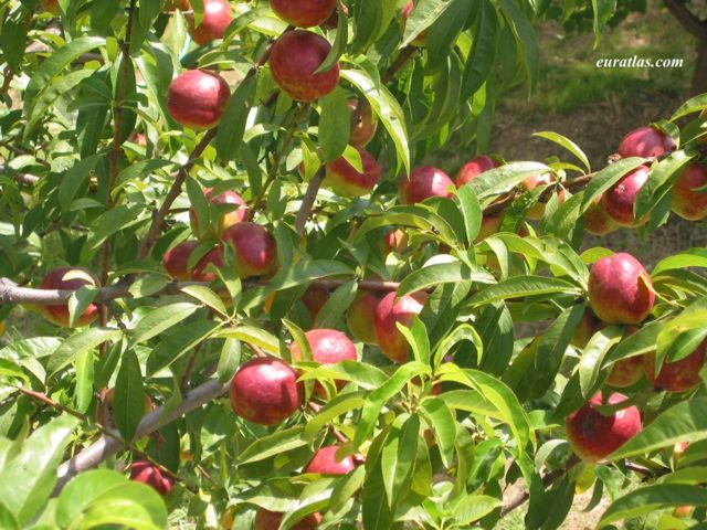Cliquez ici pour télécharger Nectarines in an Orchard
