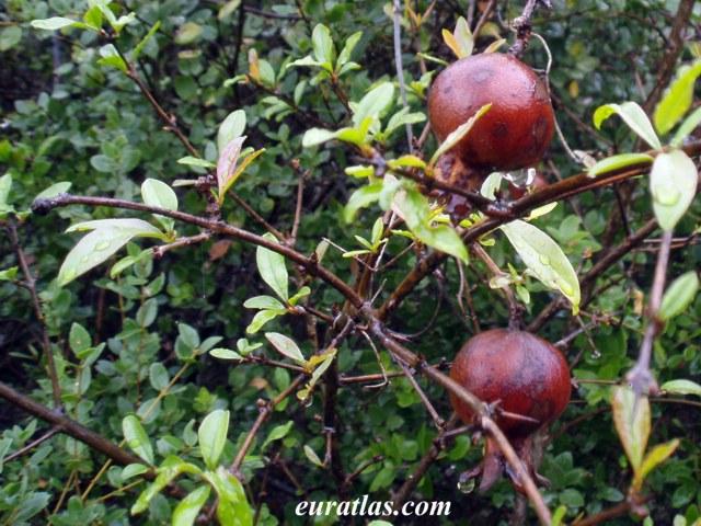 Click to download the Wild Pomegranates