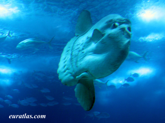 Click to download the The Ocean Sunfish of Lisbon