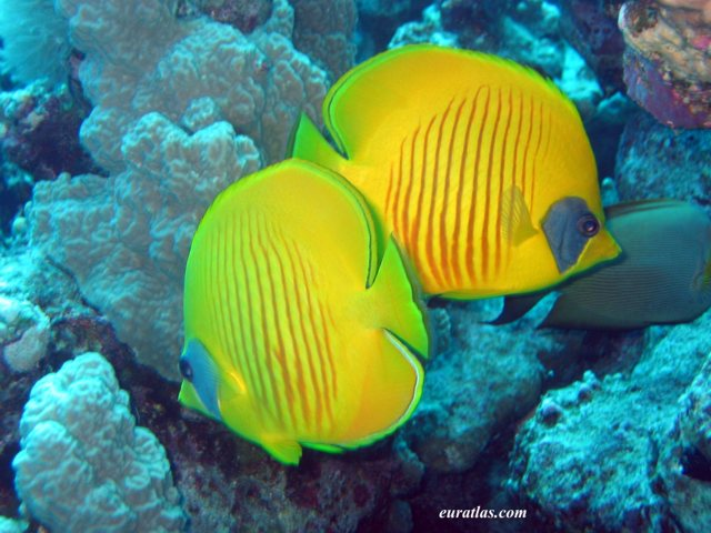Click to download the Two Bluecheek Butterflyfish or Chaetodon Semilarvatus