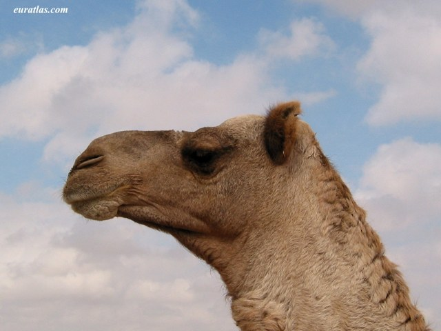Click to download the Camel Portrait