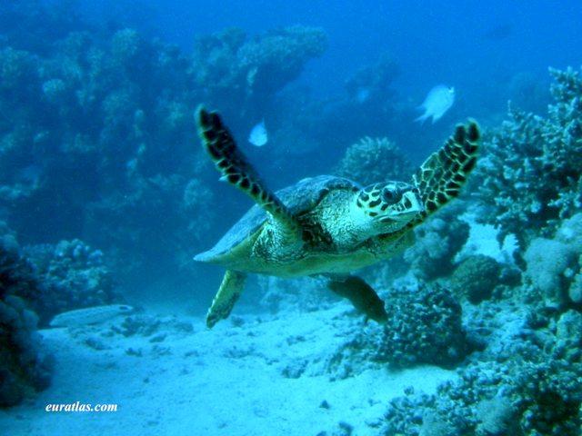 Click to download the Loggerhead Sea Turtle or Caretta Caretta