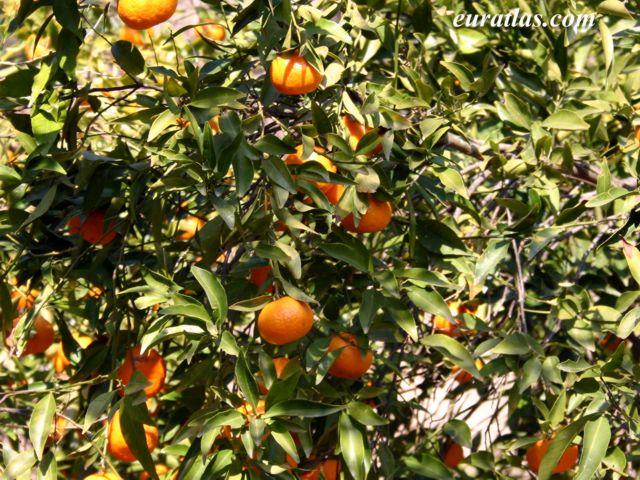 Click to download the Mandarin Oranges