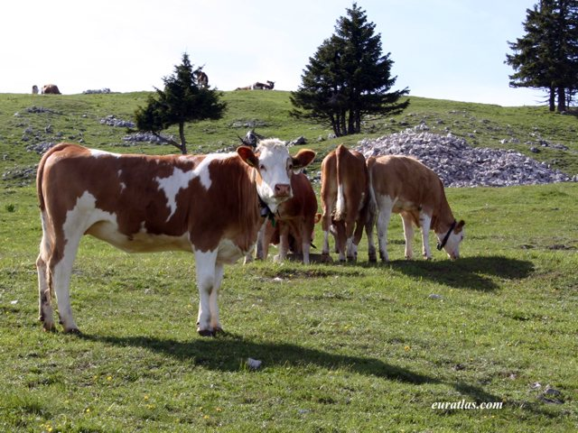 Click to download the Swiss Cows